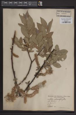 Salix adenophylla image