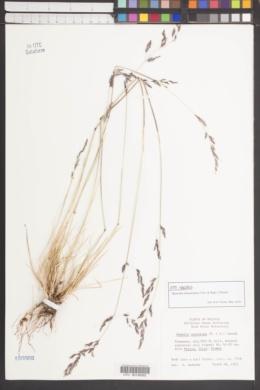 Image of Nassella meyeniana