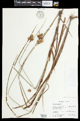 Bolboschoenus maritimus image