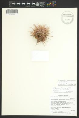 Image of Sclerocactus havasupaiensis
