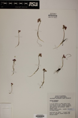 Image of Allium hickmanii