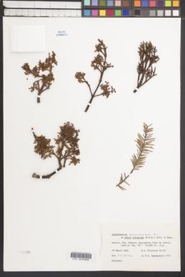 Image of Arceuthobium abietis-religiosae