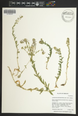 Lepidium heterophyllum image