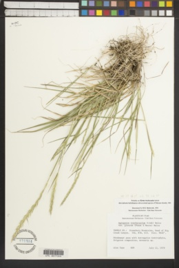 Elymus trachycaulus subsp. subsecundus image
