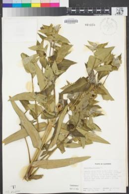 Image of Euphorbia lathyris