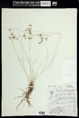 Image of Rhynchospora tenuis