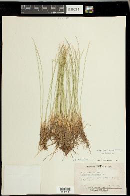 Trichophorum cespitosum image