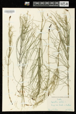 Equisetum palustre image