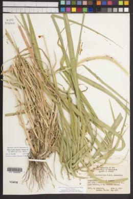 Setaria villosissima image