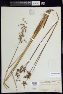 Image of Juncus subnodulosus