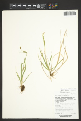 Carex arizonica image