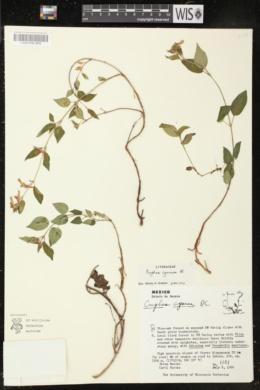 Cuphea cyanea image