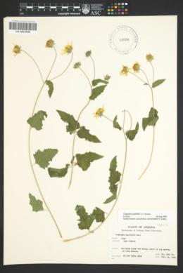 Bahiopsis parishii image