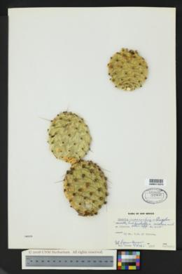 Opuntia macrorhiza image