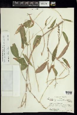 Lasiacis ruscifolia image