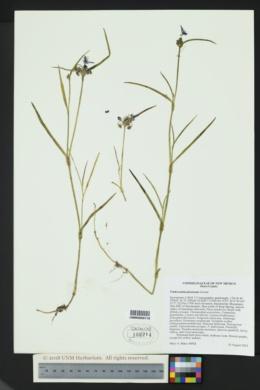 Tradescantia pinetorum image