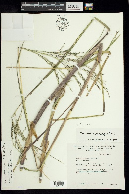 Image of Panicum elephantipes