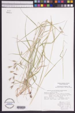 Danthonia californica image