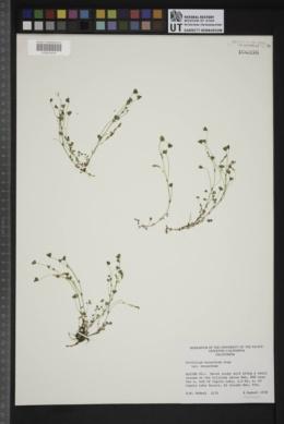 Trifolium monanthum var. monanthum image
