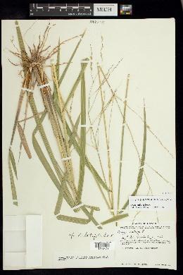 Oryza latifolia image
