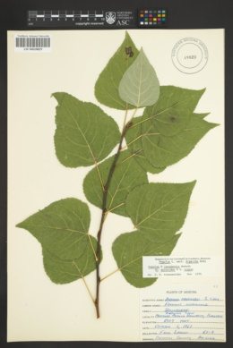 Populus x canadensis image