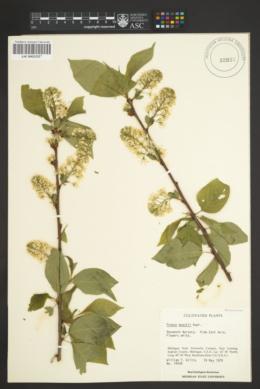 Prunus maackii image