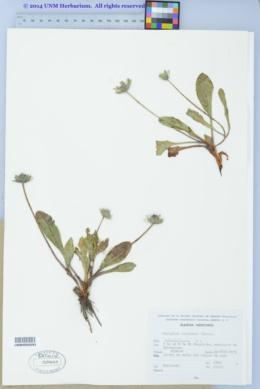 Image of Eryngium scaposum