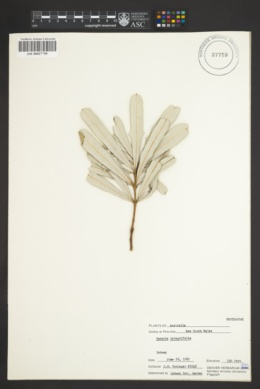Banksia integrifolia image