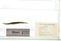Lepisosteus oculatus image