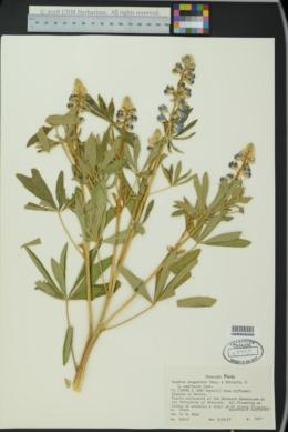 Image of Lupinus campestris
