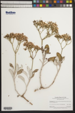 Eriogonum thompsoniae var. albiflorum image