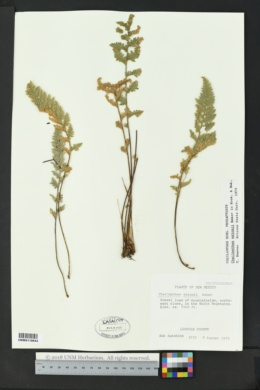 Myriopteris rufa image