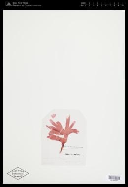 Hymenena multiloba image