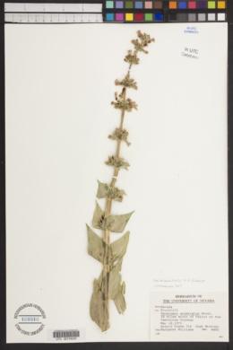 Penstemon acuminatus var. latebracteatus image