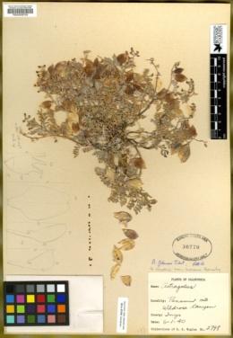 Astragalus gilmanii image