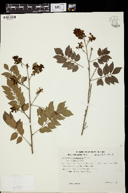 Lonchocarpus lanceolatus image