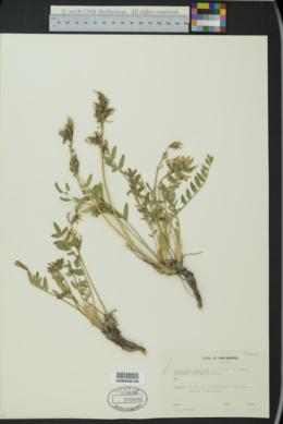 Image of Oxytropis monticola