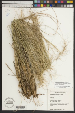 Image of Austrostipa metatoris
