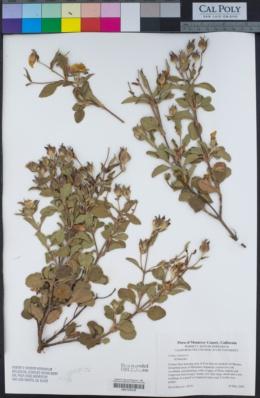 Cistus creticus image