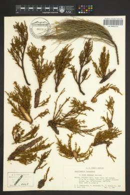 Image of Arceuthobium yecorense