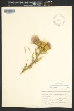 Cirsium arizonicum var. nidulum image