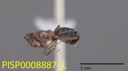 Dorymyrmex bicolor image