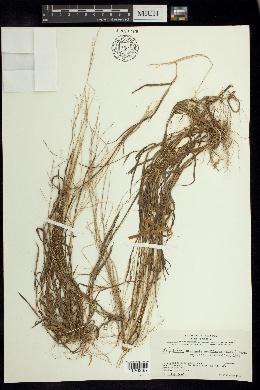 Digitaria argillacea image