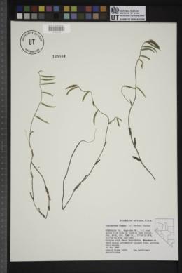 Caulanthus cooperi image