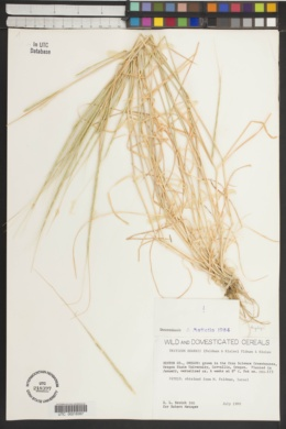 Image of Aegilops searsii