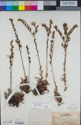 Image of Dudleya bettinae