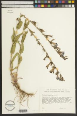 Penstemon leiophyllus image