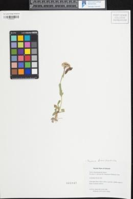 Packera dimorphophylla image
