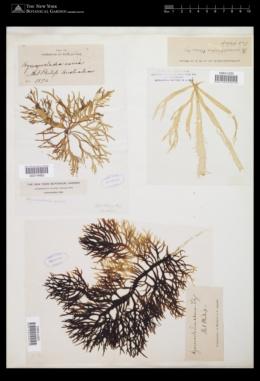 Hymenocladia usnea image