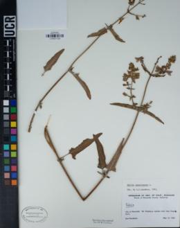 Salvia canariensis image